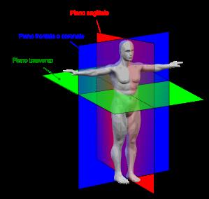 human_anatomy_planes-it-svg