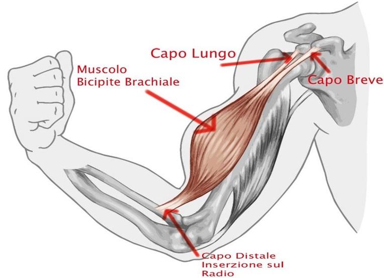 Bicipite-brachiale