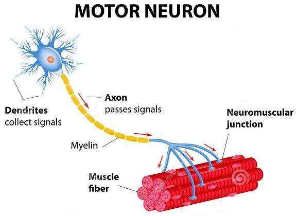 motoneurone-diagramma-vettoriale-35181499