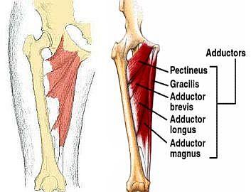Muscoli adduttori: anatomia e rinforzo  per la prevenzioneinfortuni