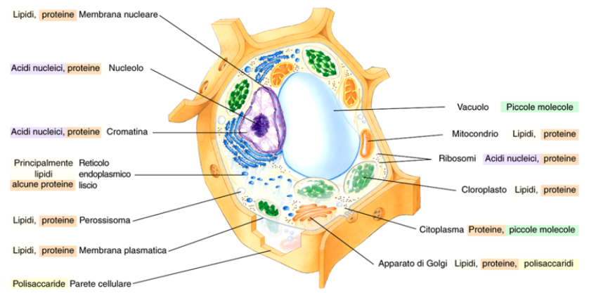 Distribuzione delle macromolecole biologiche all'interno della cellula