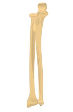 Radius and Ulna Bones