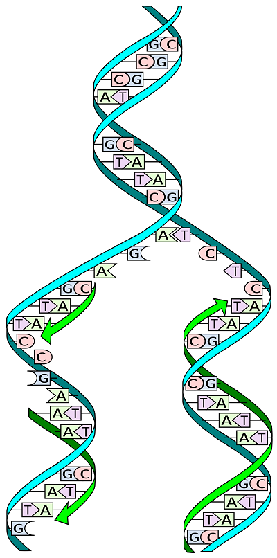 DNA_replication.png