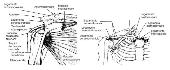 Spalla: anatomia e biomeccanica dibase